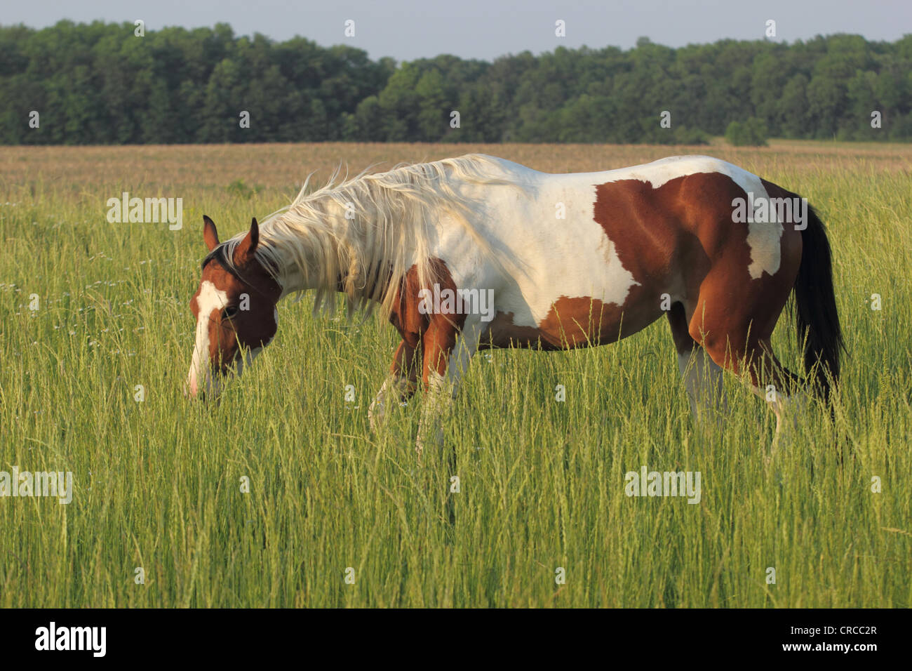 Tobiano Stock Photos & Tobiano Stock Images - Alamy