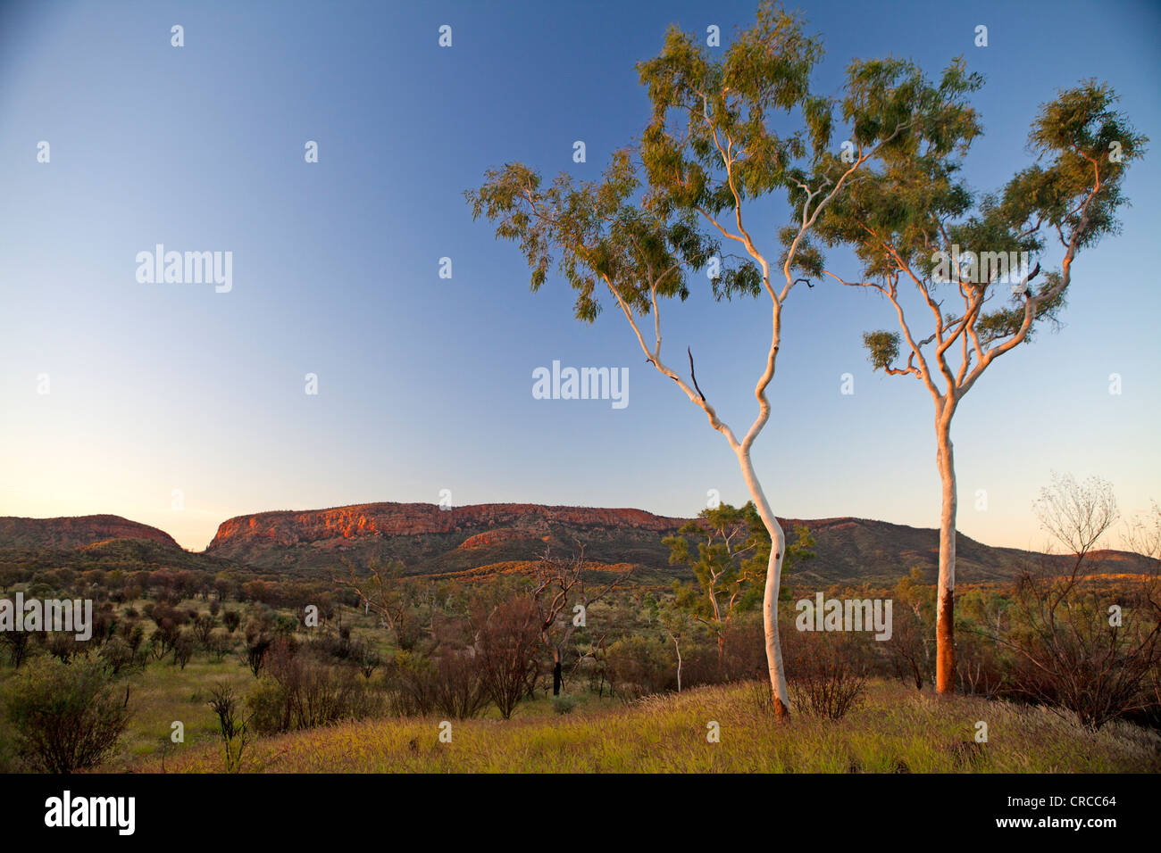 Ghost gums with a view to Simpsons Gap in the West MacDonnell Ranges - Stock Image