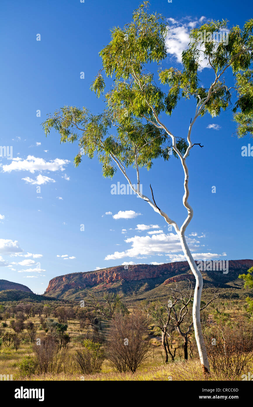 Ghost gum with a view to Simpsons Gap in the West MacDonnell Ranges - Stock Image
