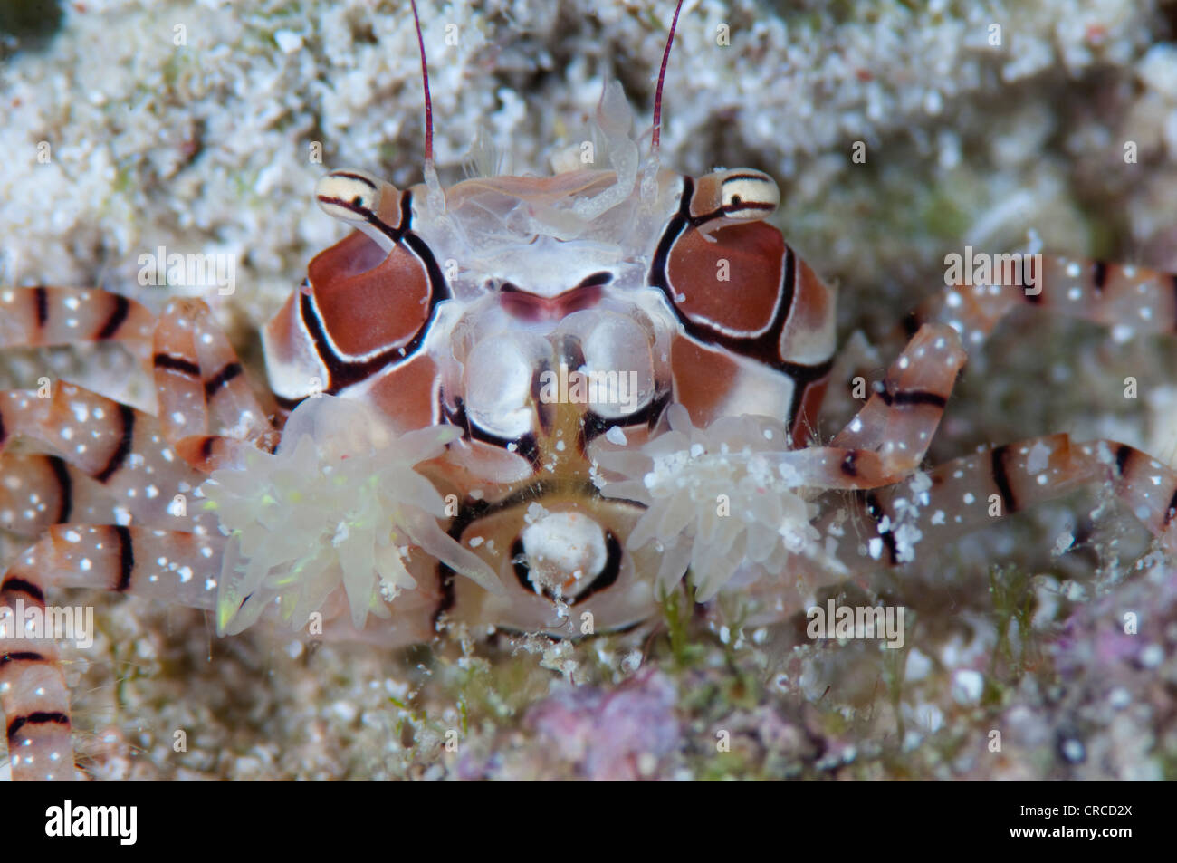 Boxer Crab Lybia tessellata, with protective anemones, Wakatobi, Sulawesi Tenggara, Indonesia. - Stock Image