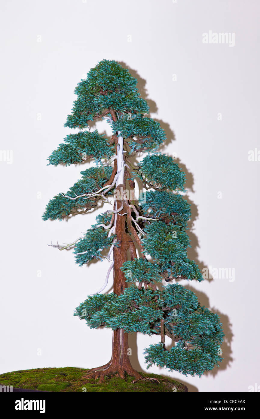 A large Chamaecyparis pisifera, Boulevard Cypress bonsai - Stock Image