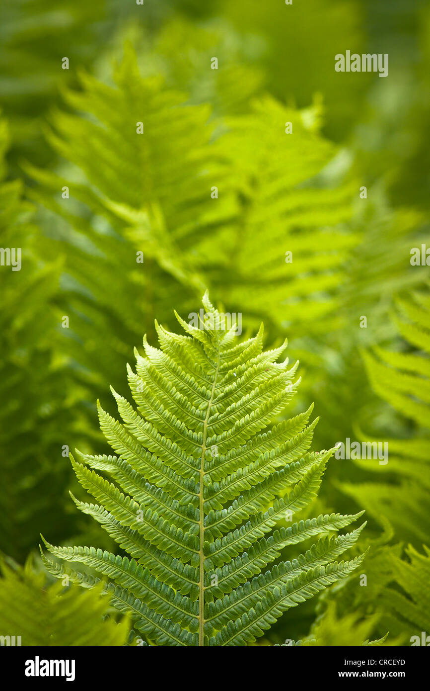 Fern leaves or fronds in a glade of ferns. - Stock Image