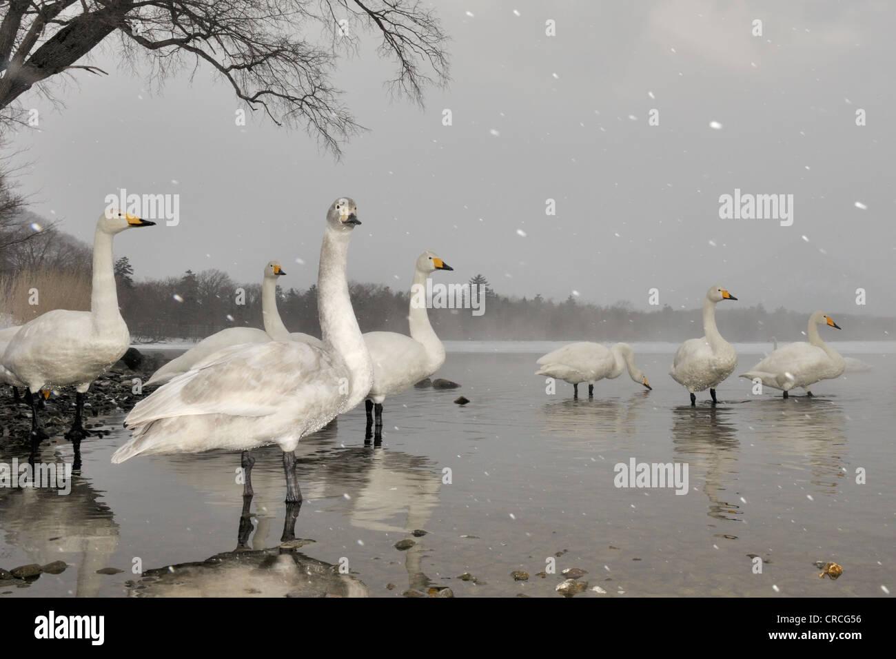 Whooper Swans (Cygnus cygnus) standing in lake while snowing, Kussharo lake, Akan national park, Hokkaido, Japan. - Stock Image