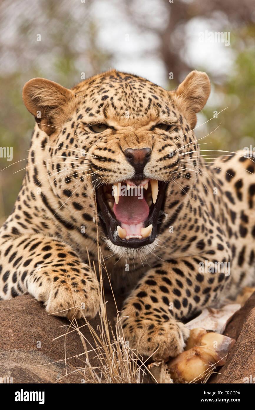 Portrait of a hissing leopard (Panthera pardus), Tshukudu Game Lodge, Hoedspruit, Greater Kruger National Park, - Stock Image