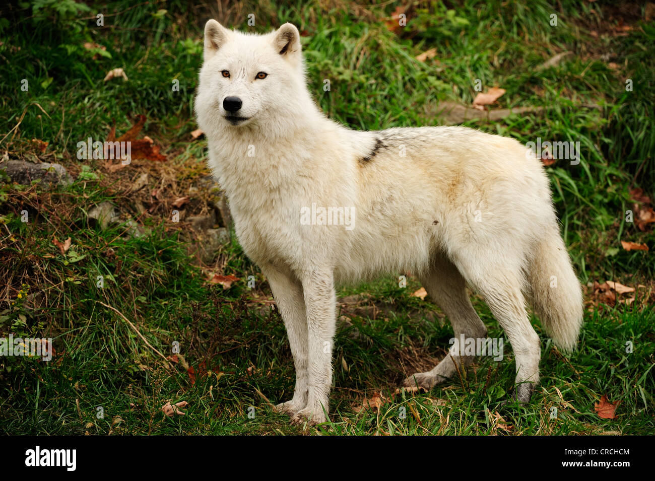White Wolf High Resolution Stock Photography And Images Alamy