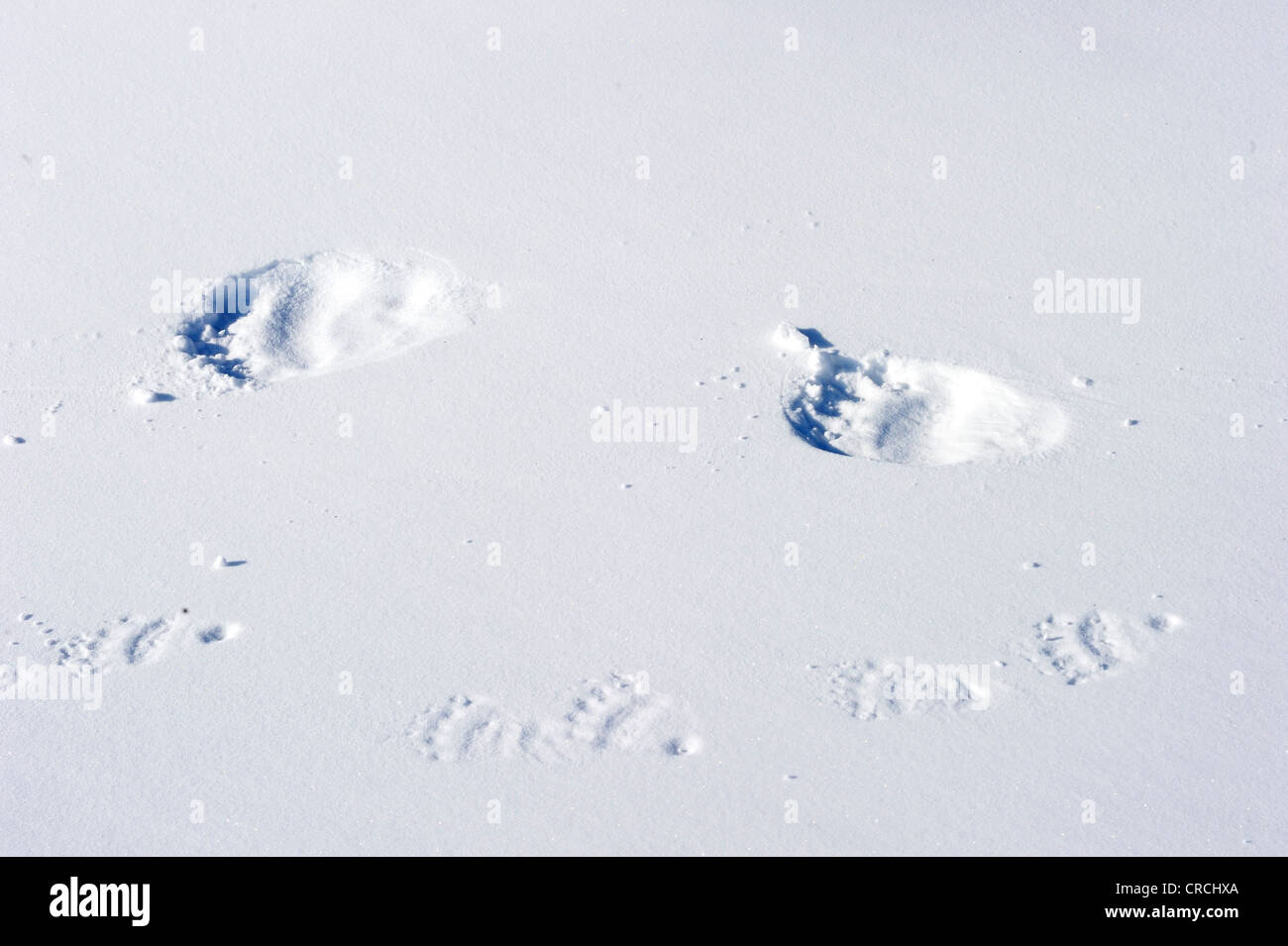 Tracks of Polar bear sow (Ursus maritimus) and a cub in the snow - Stock Image