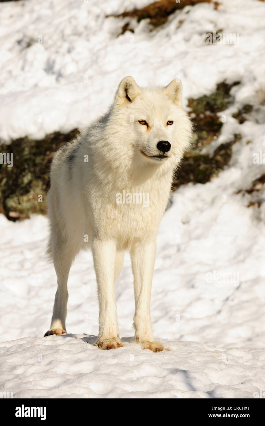 Arctic Wolf, Polar Wolf or White Wolf (Canis lupus arctos) standing in snow and looking into the distance, Canada - Stock Image