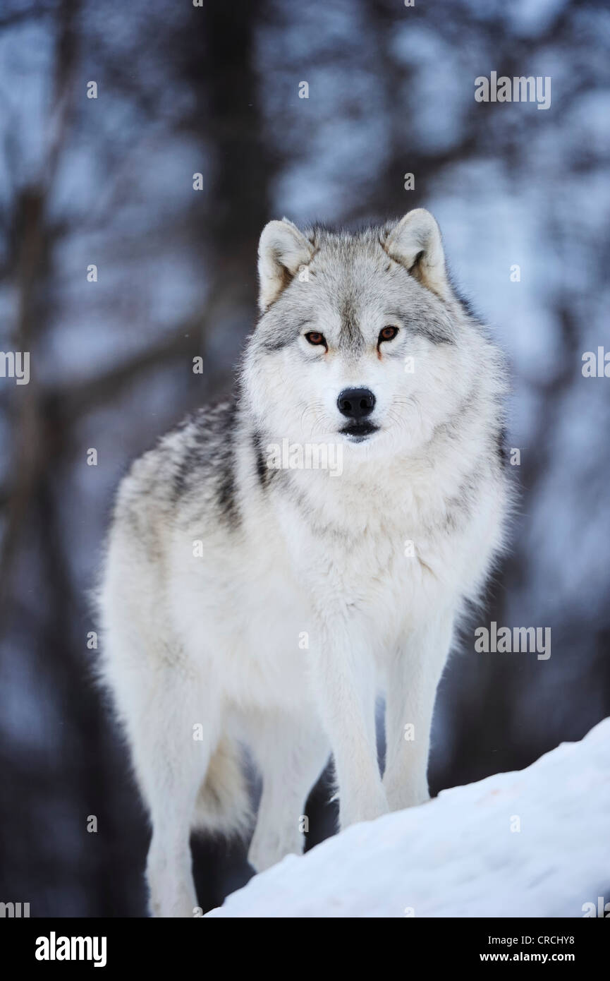 Arctic Wolf, Polar Wolf or White Wolf (Canis lupus arctos) standing on snow-covered rocks, Canada - Stock Image