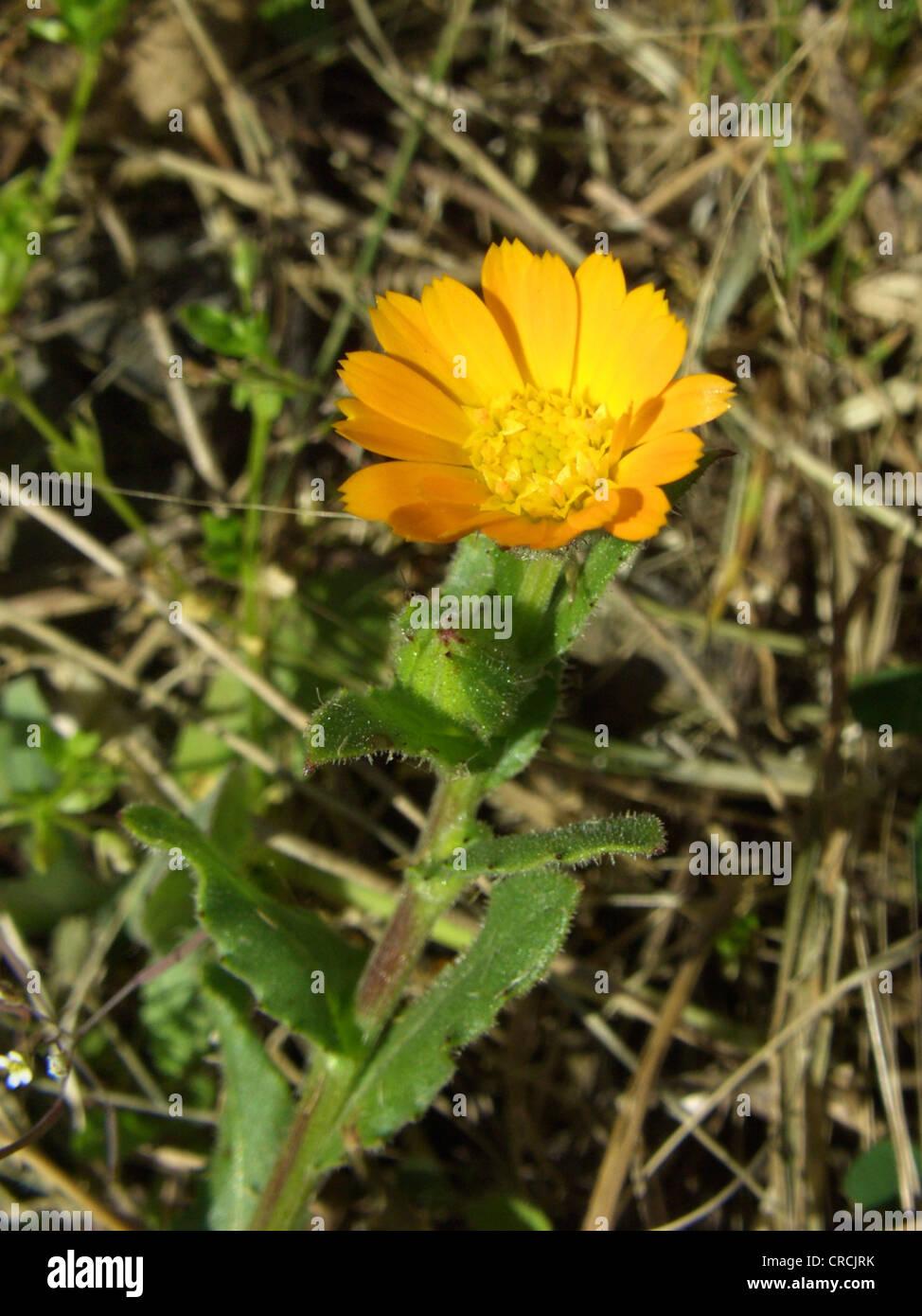 field marigold (Calendula arvensis), blooming, Italy, Sicilia Stock Photo