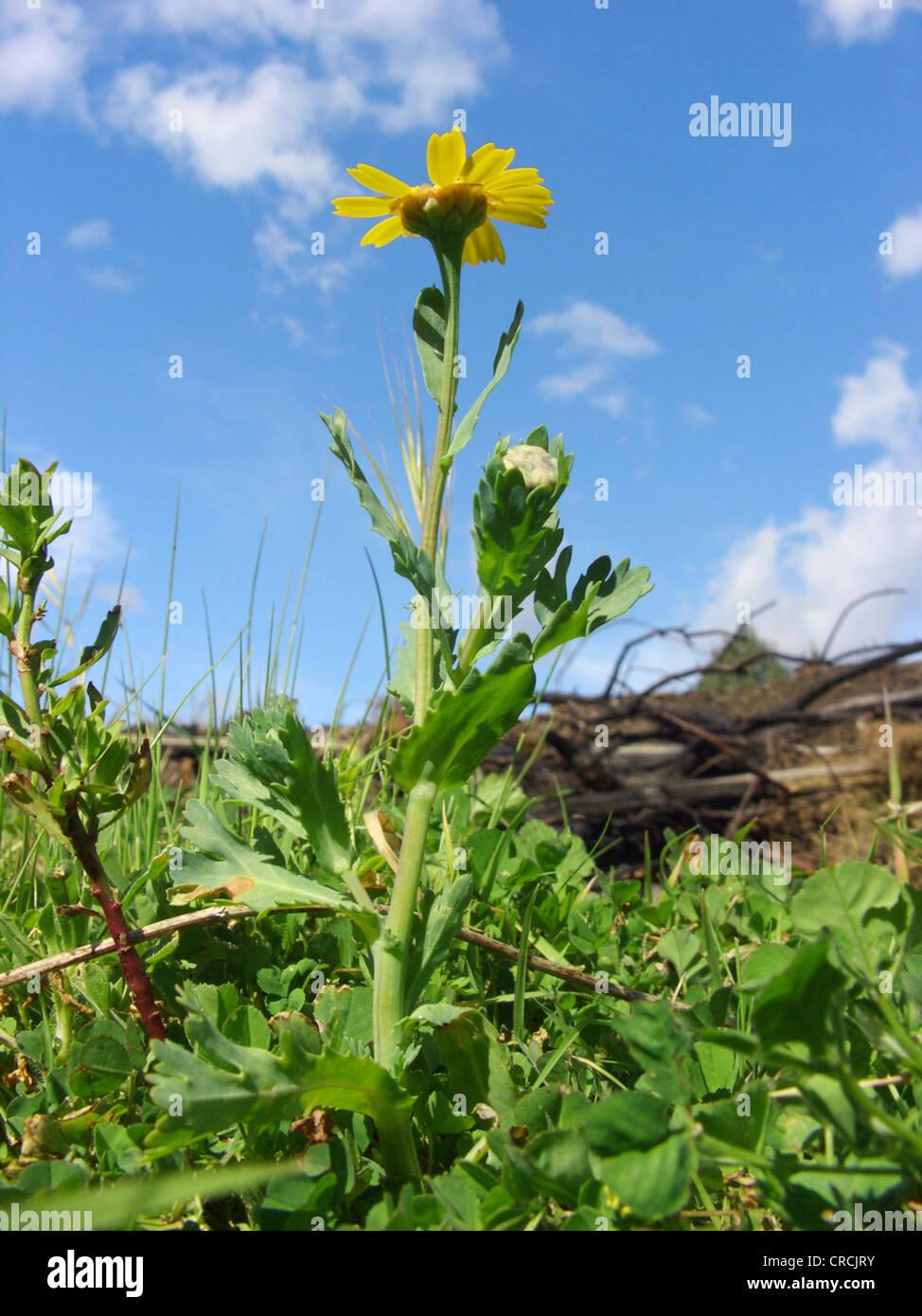 corn chrysanthemum, corn marigold (Chrysanthemum segetum), blooming, Italy, Sicilia Stock Photo