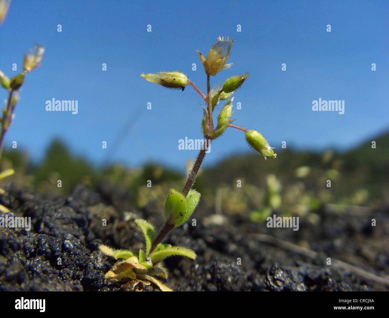 Little mouse-ear, Five-stamen mouse-ear chickweed (Cerastium semidecandrum), single plant growing on a lava field - Stock Image