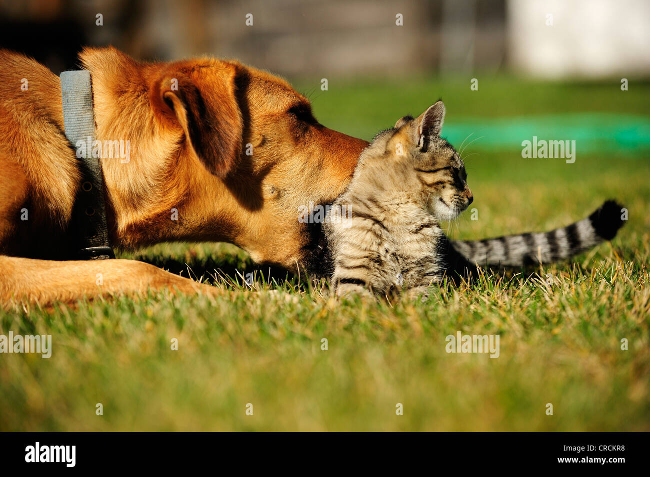 House cat and dog interacting tenderly Stock Photo