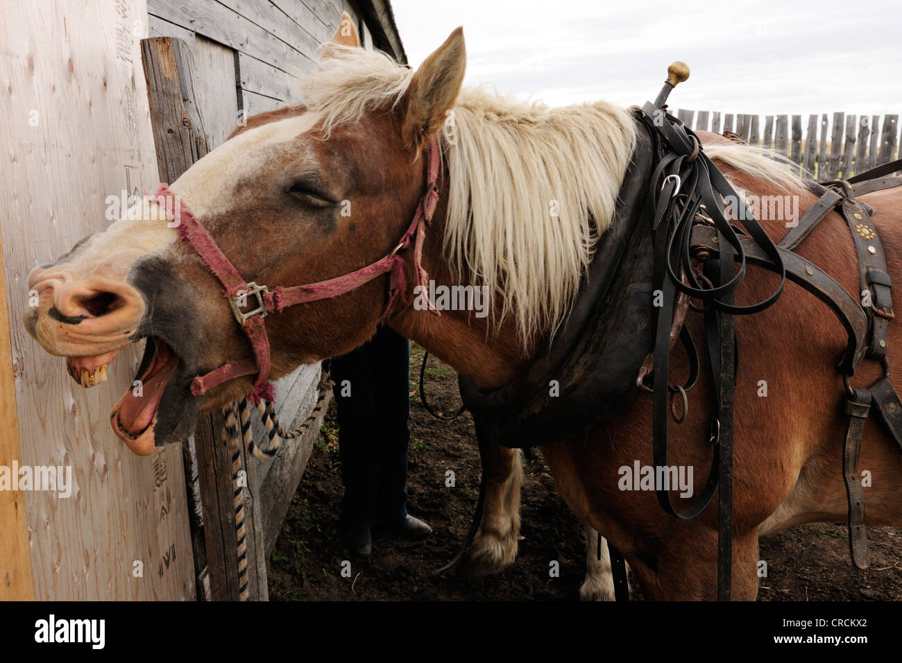 Horse with wide open mouth is put to a cart, Saskatchewan, Canada, North America - Stock Image