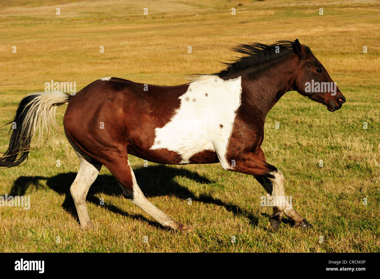 Horse galloping across the prairie, Saskatchewan, Canada - Stock Image