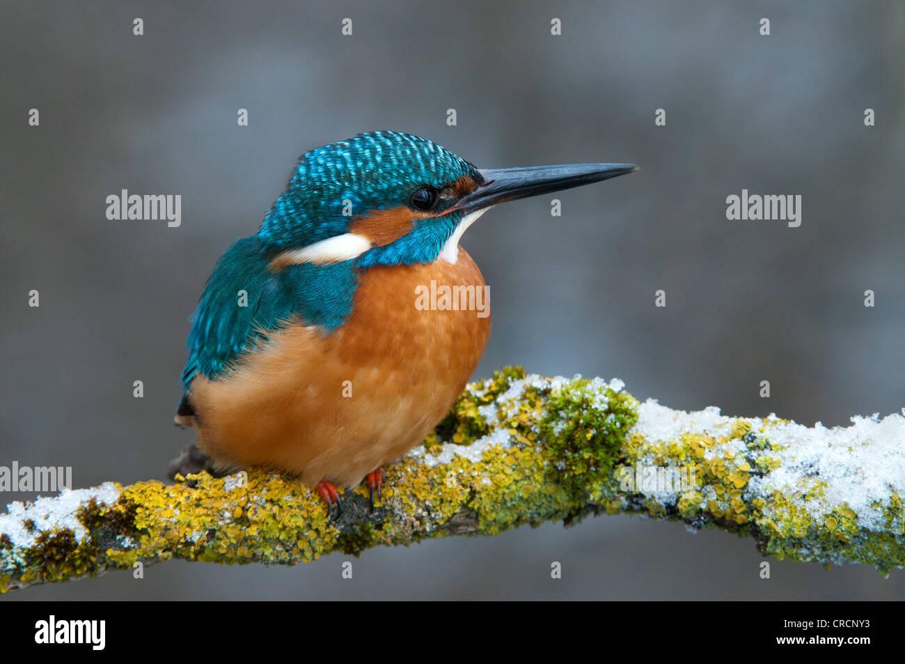 Kingfisher (Alcedo atthis), Tratzberg Conservation Area, Tyrol, Austria, Europe - Stock Image