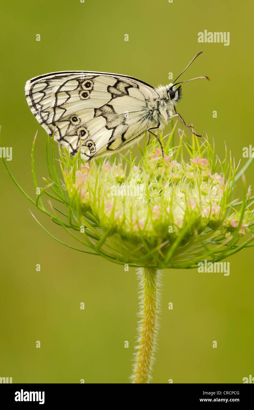 Marbled White (Melanargia galathea), Pinkafeld, Burgenland, Austria, Europe - Stock Image