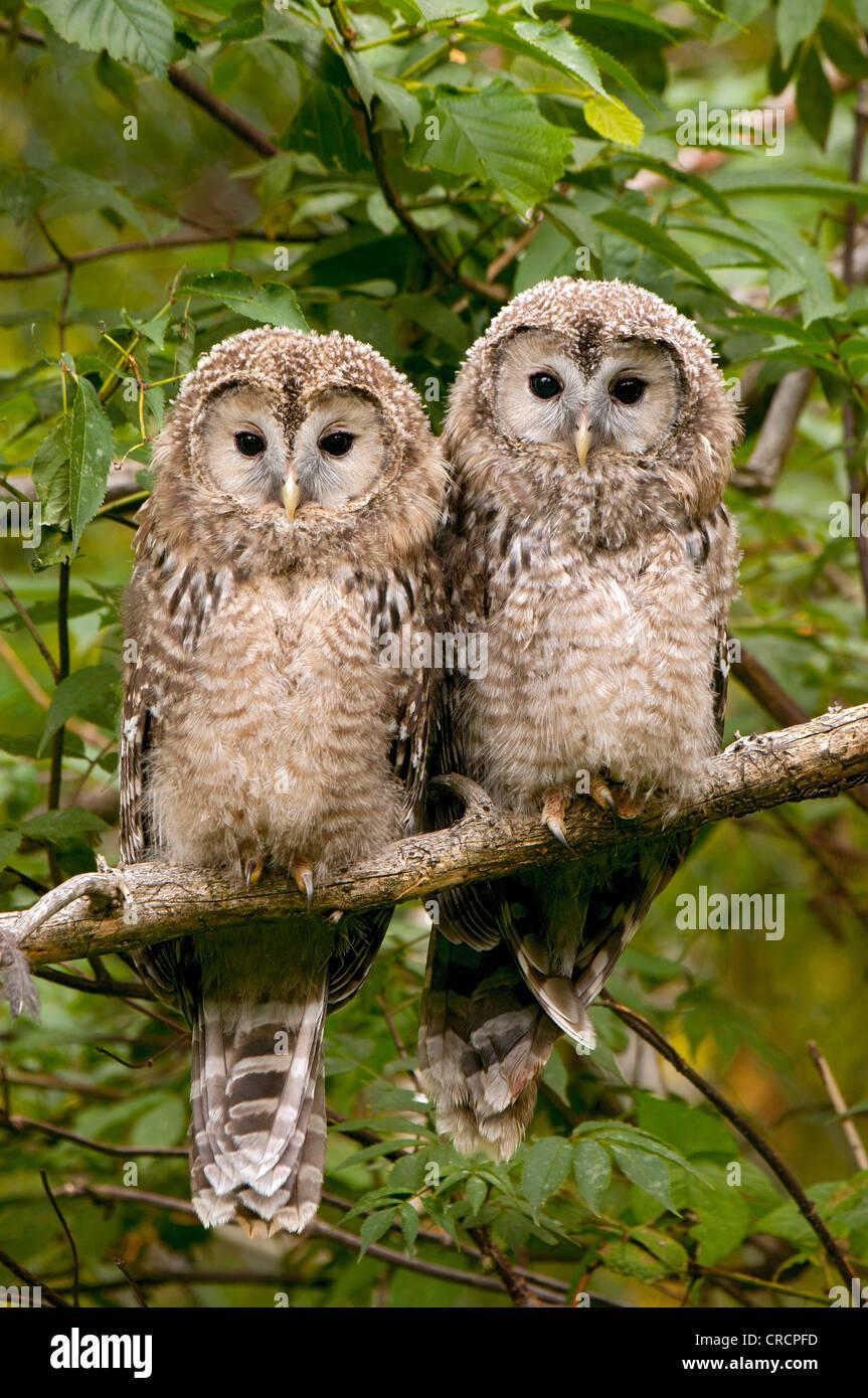 Ural Owl (Strix uralensis), juvenile birds, Bavarian Forest National Park, Bavaria, Germany, Europe - Stock Image
