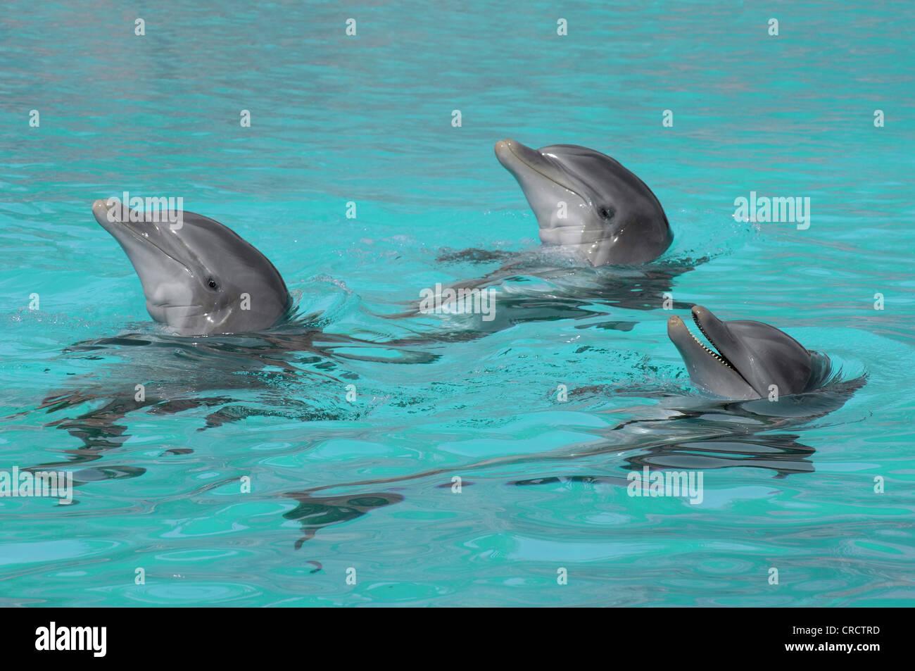 bottlenosed dolphin, common bottle-nosed dolphin (Tursiops truncatus), Drei synchron schwimmende Delfine - Stock Image