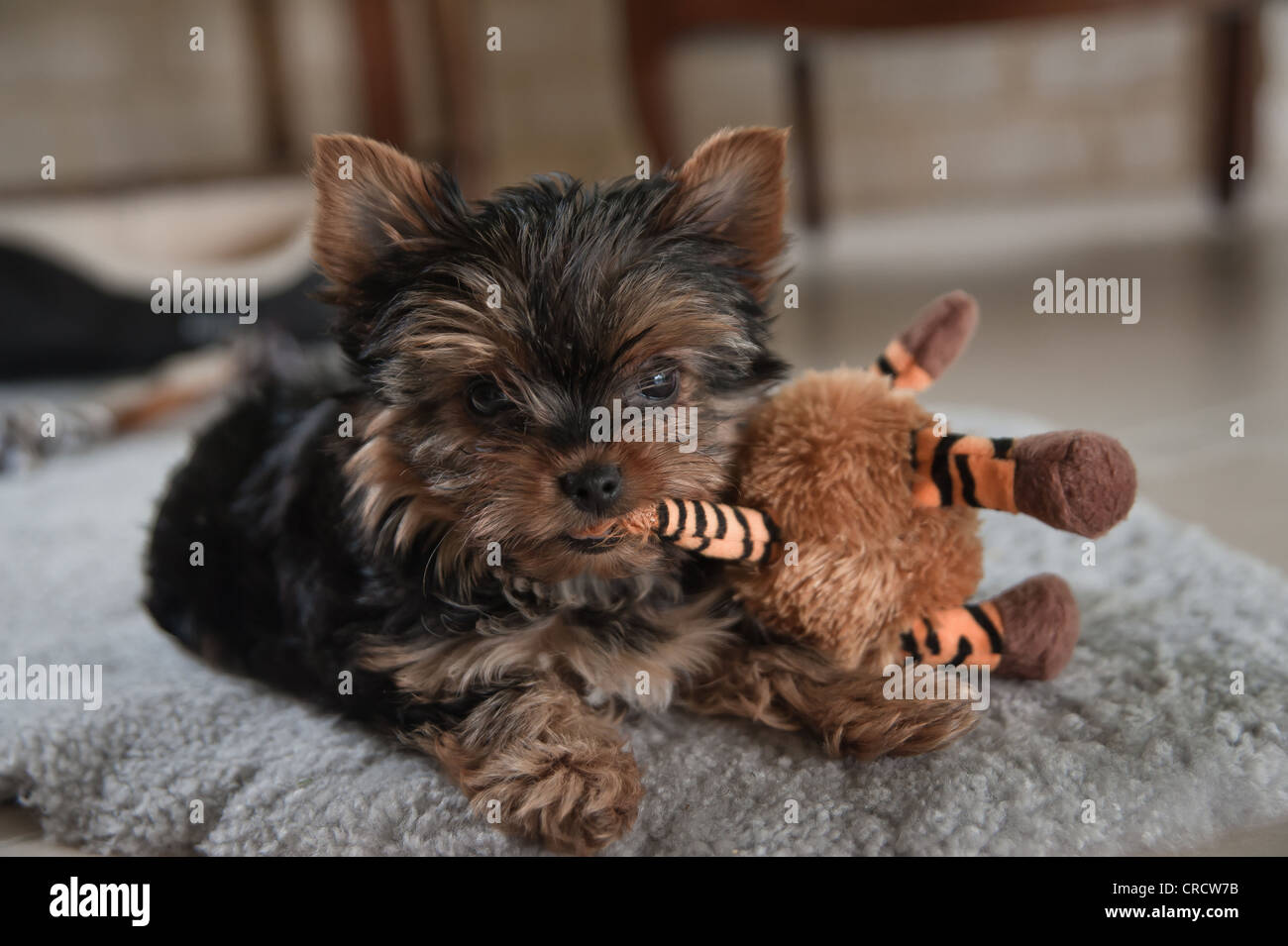 3 Month Old Yorkshire Terrier Plays With Toy Stock Photo 48841055