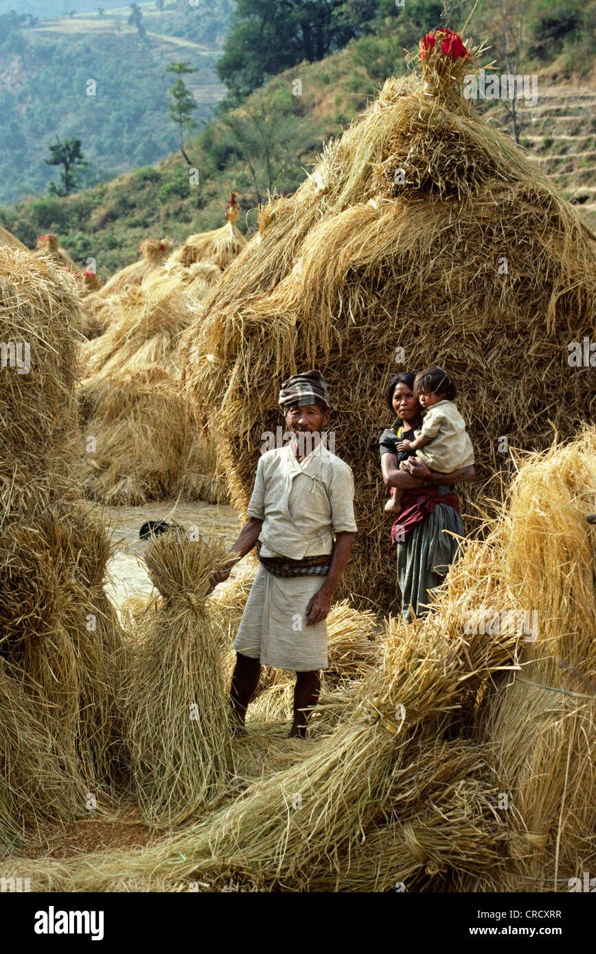 bread wheat, cultivated wheat (Triticum aestivum), GURUNG FAMILY stands in front of piles of DRY HARVESTED WHEAT Stock Photo