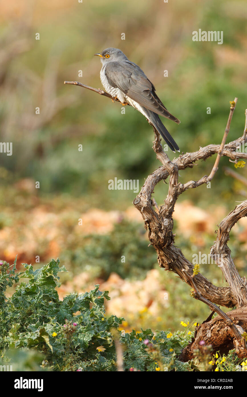 Common Cuckoo (Cuculus canorus) perching on twig - Stock Image