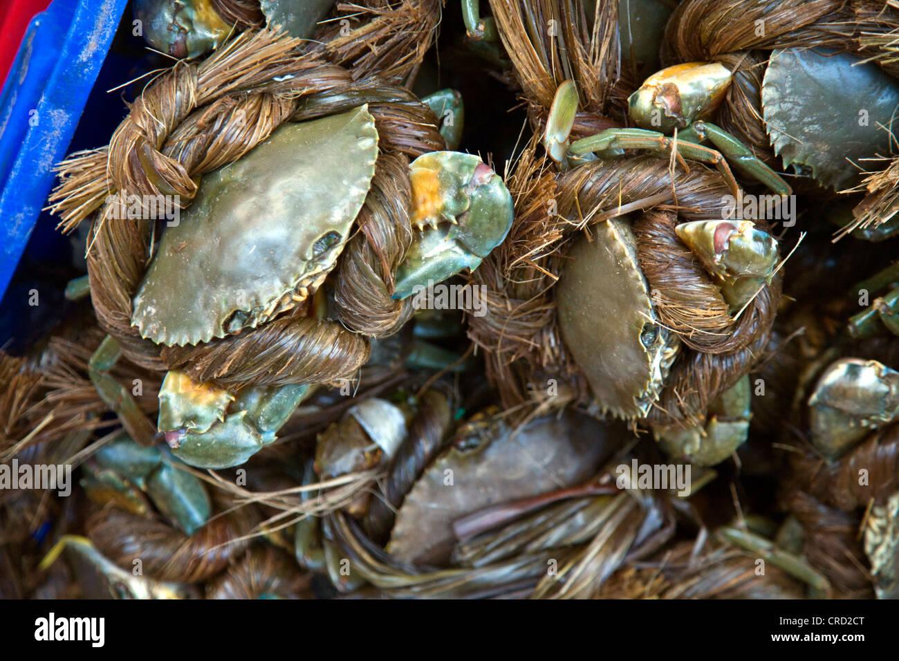 blue swimming crab, sand crab, pelagic swimming crab (Portunus pelagicus), secured in handmade rope await sale in - Stock Image