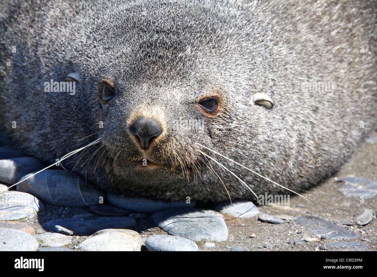 Seal, portrait, South Georgia - Stock Image