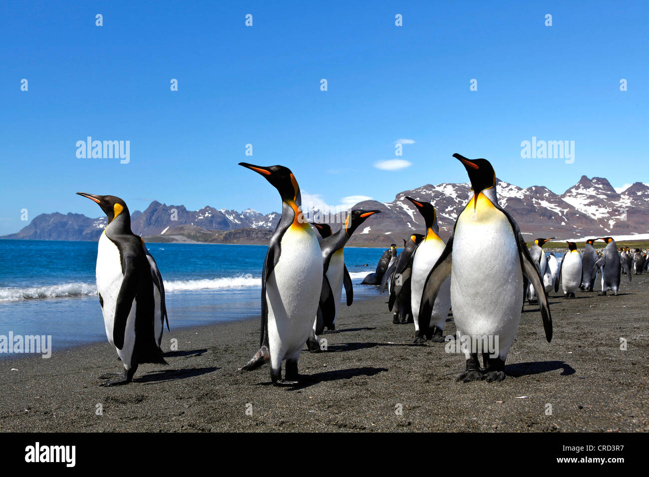 Colony of king penguins at the coast, South Georgia - Stock Image