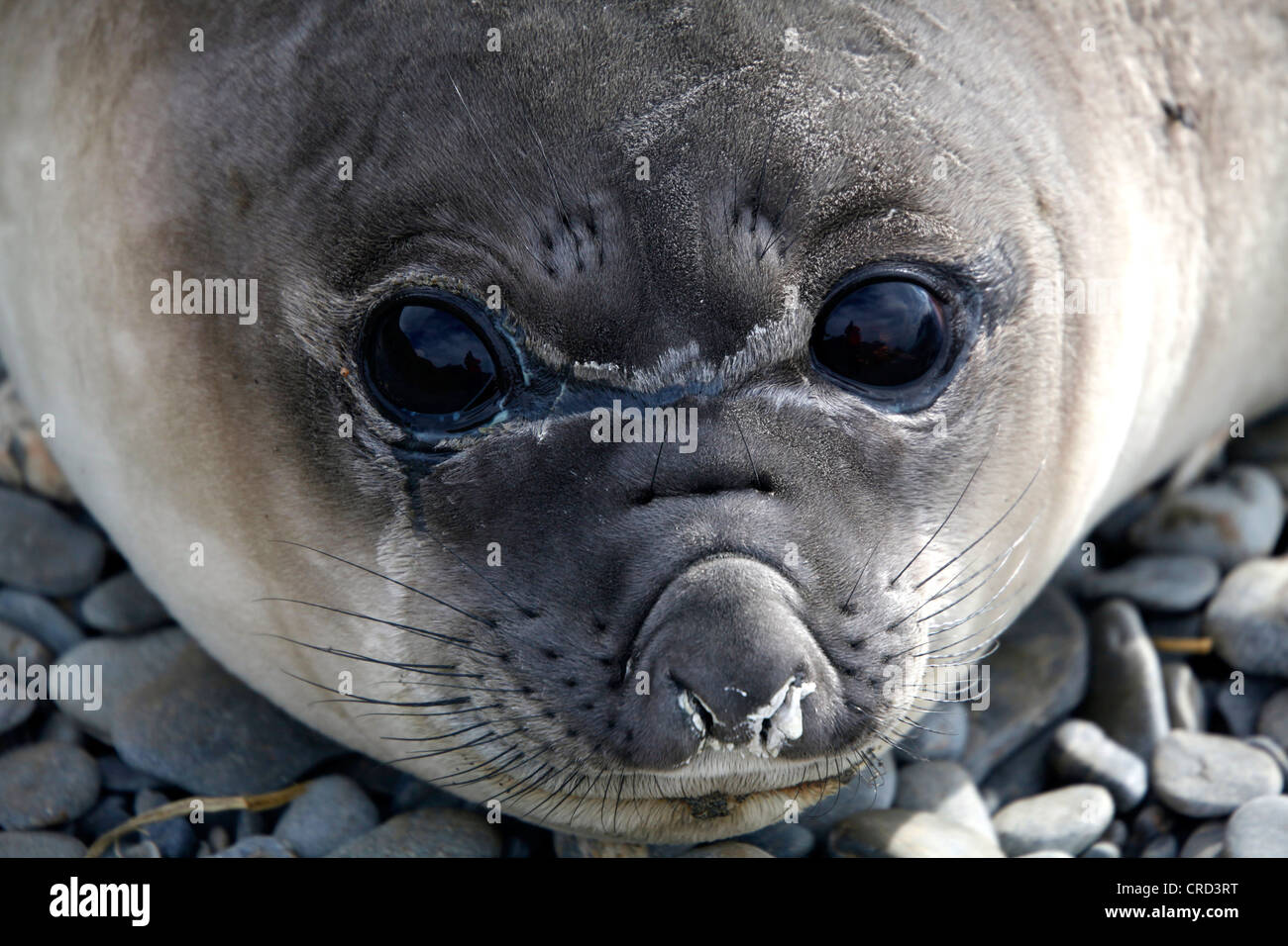 Fur seal, portrait, South Georgia - Stock Image