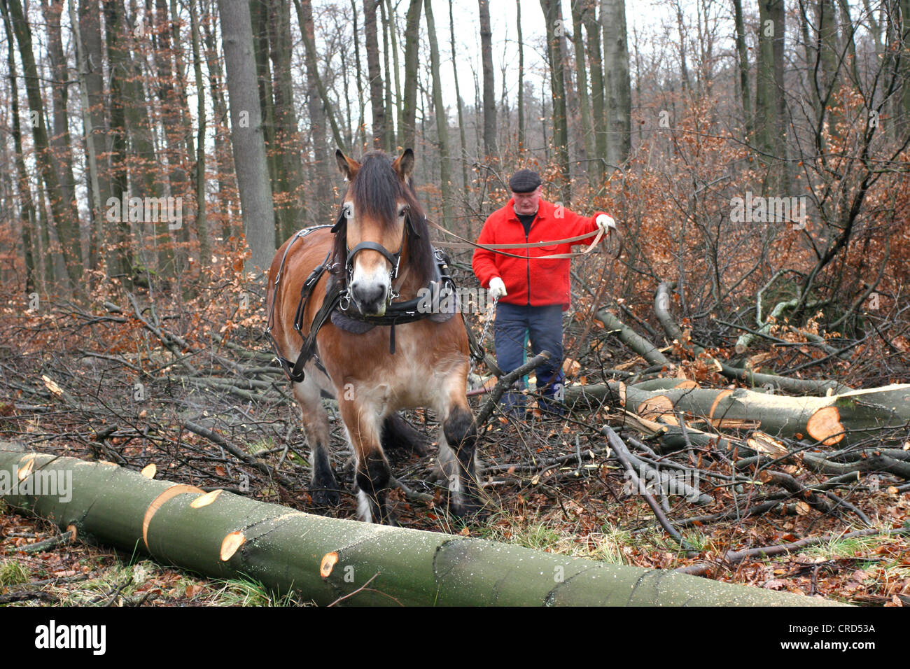 Rheinish Westphalian draught horse (Equus przewalskii f. caballus), draught horse in a forest, Germany, North Rhine - Stock Image