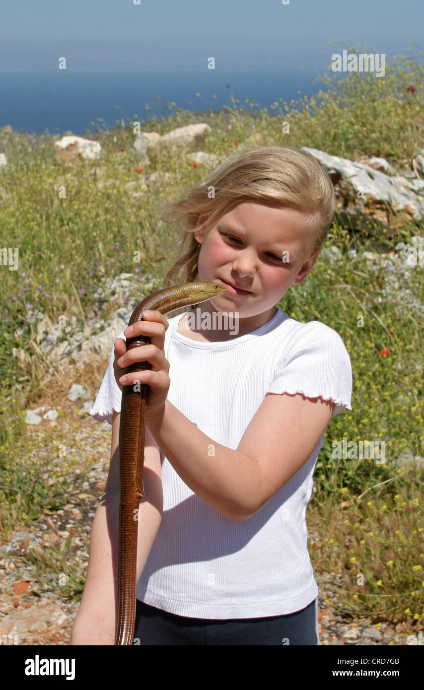 European glass lizard, armored glass lizard (Ophisaurus apodus, Pseudopus apodus), single animal in the hands of - Stock Image