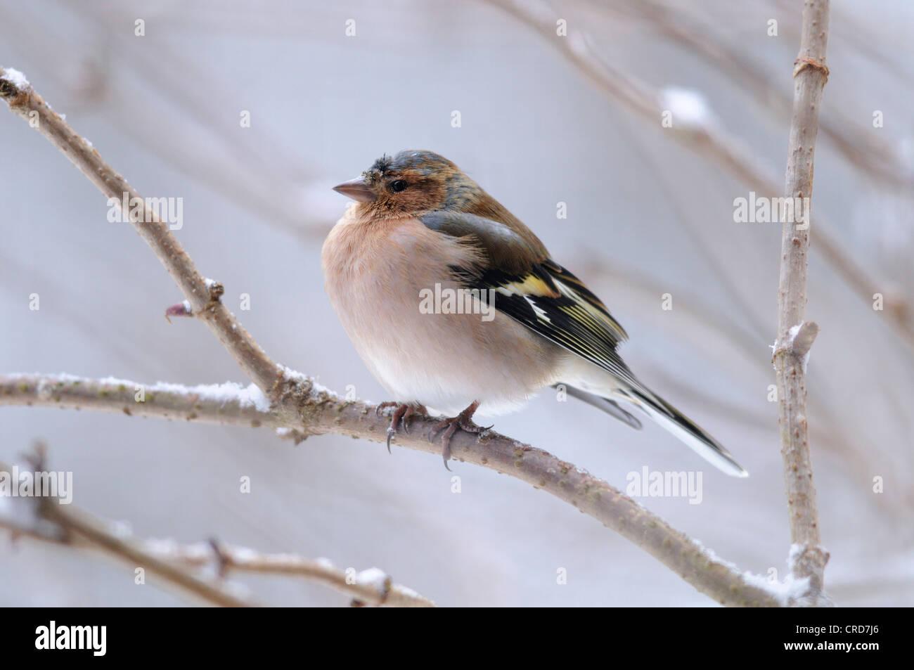 Chaffinch (Fringilla coelebs) perching on branch - Stock Image
