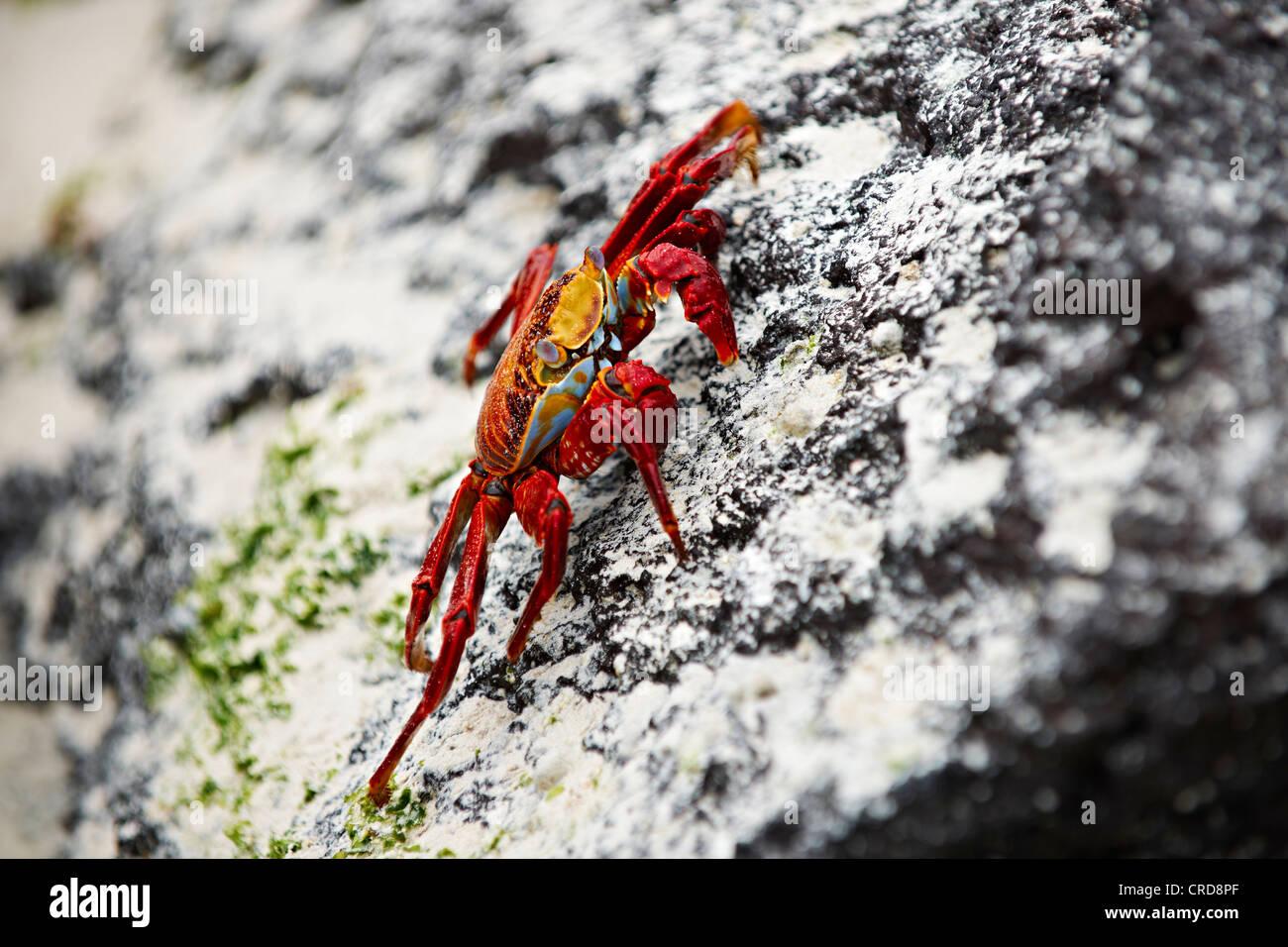 Red rock crab (Grapsus grapsus), Santa Cruz, Galapagos Islands - Stock Image