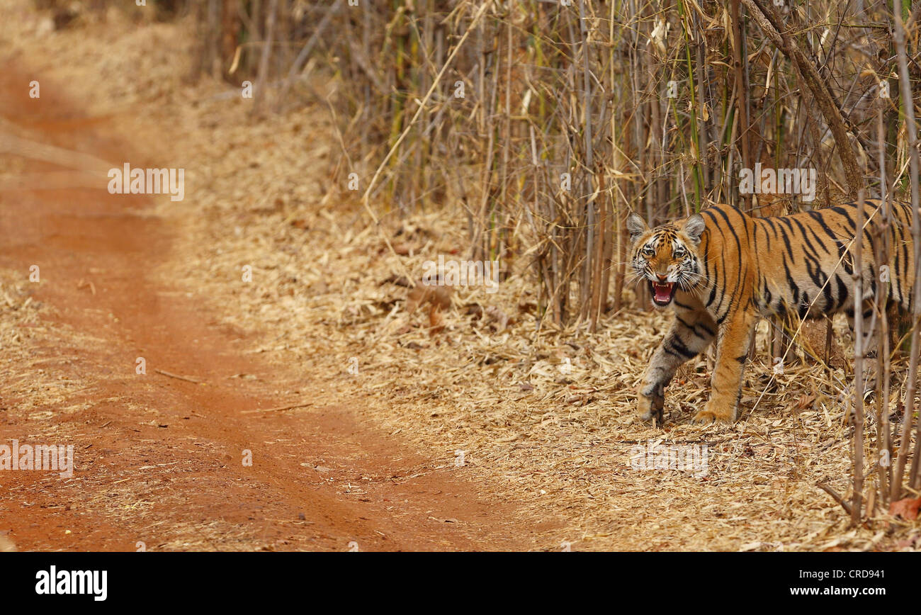 Young Bengal tiger snarls while crossing the dirt track and staring into the camera. - Stock Image