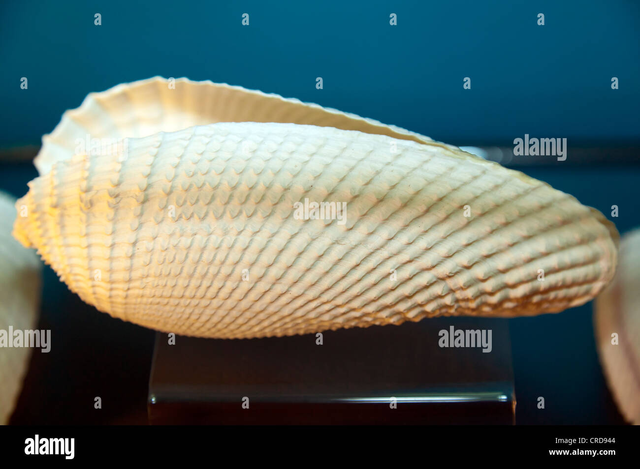 Close-up of a marine mollusk shell - Stock Image