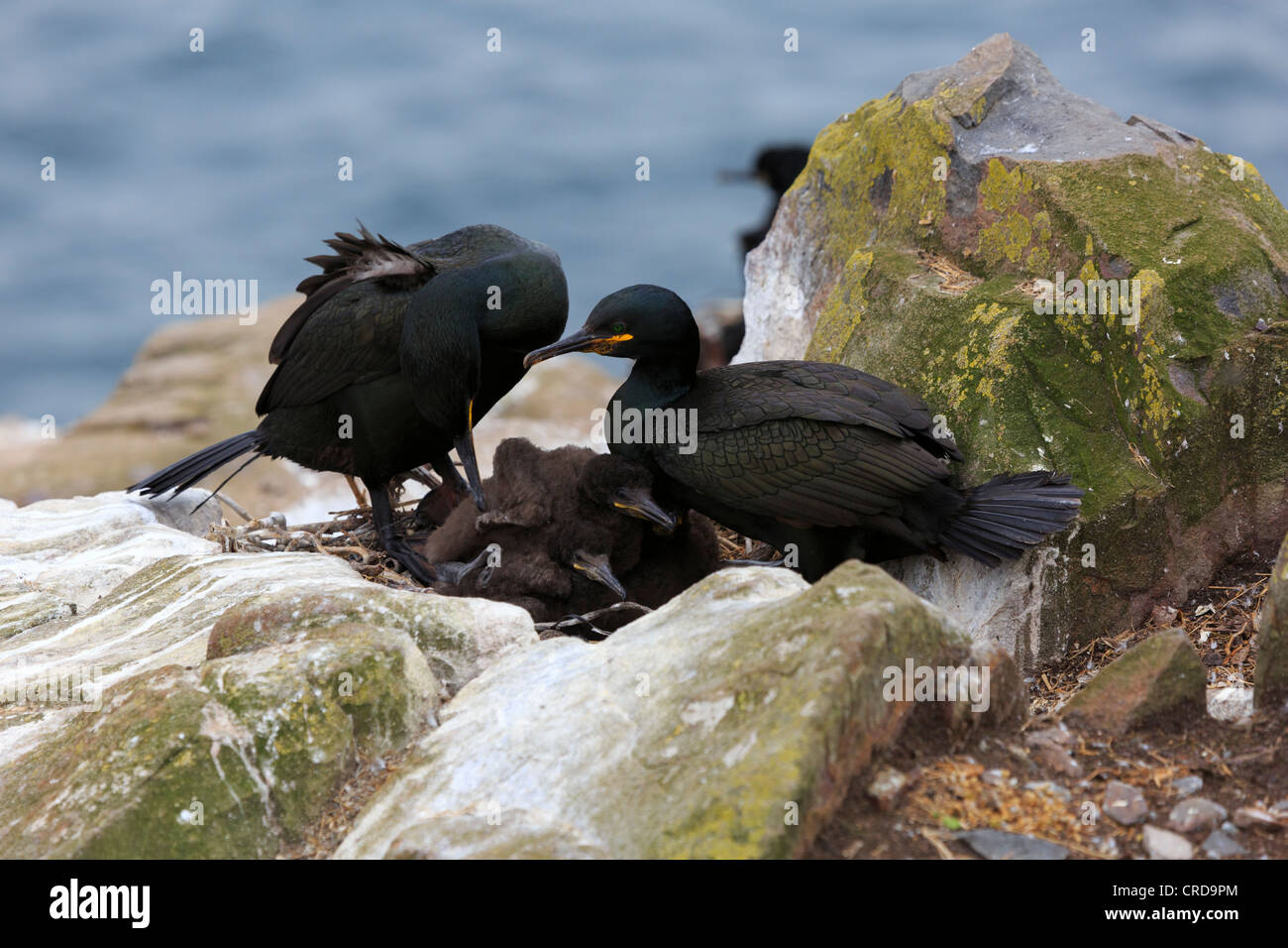 Shag, Phalacrocorax aristotelis, pair tending chicks. Both parents incubate the eggs and tend the chicks after hatching. - Stock Image