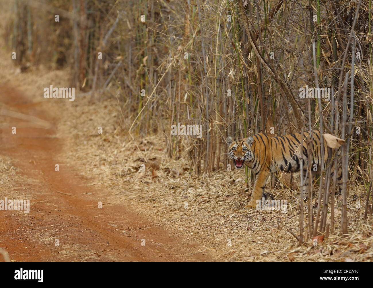 Young Bengal Tiger snarling at photographer before crossing dirt path in Tadoba Tiger Reserve, India - Stock Image