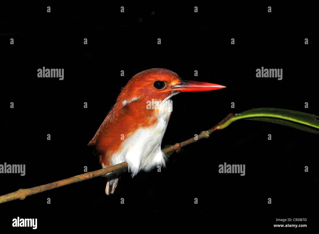 Madagascar Pygmy-Kingfisher (Ceyx madagascariensis, Ispidina madagascariensis), Masoala rainforest, north-eastern - Stock Image