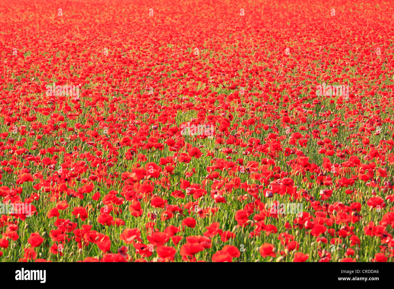 Poppy field at Blackstone, a Worcestershire Wildlife Trust managed area, Bewdley, Worcestershire, England, Europe - Stock Image