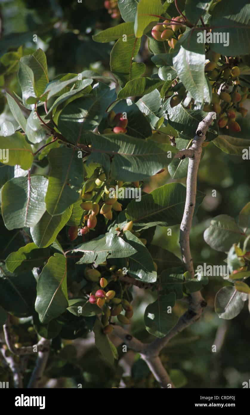 Growing Pistachios: Pistachio Nut Pistacia Vera Trees Stock Photos & Pistachio