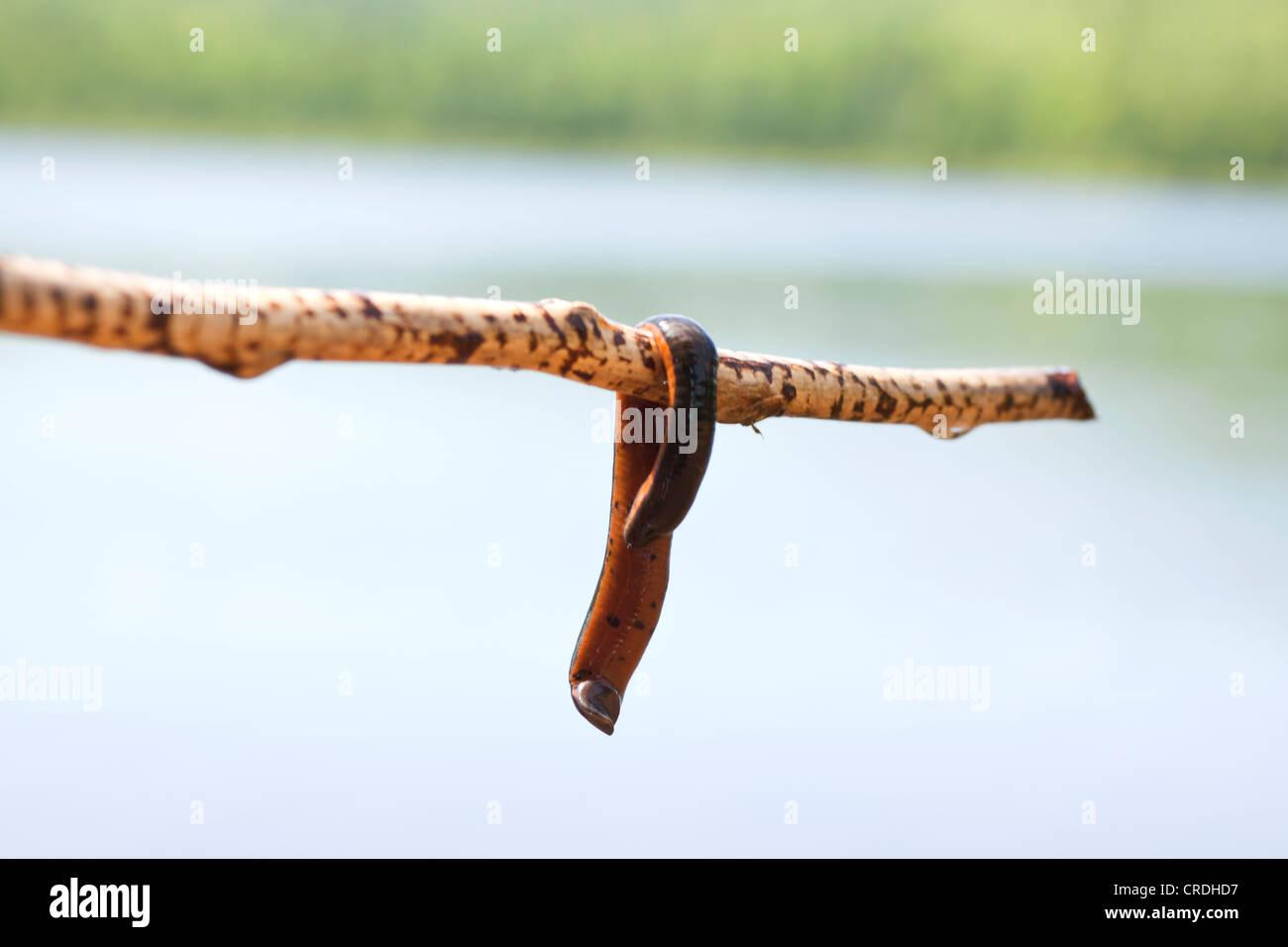 Leech Stock Photos & Leech Stock Images - Alamy