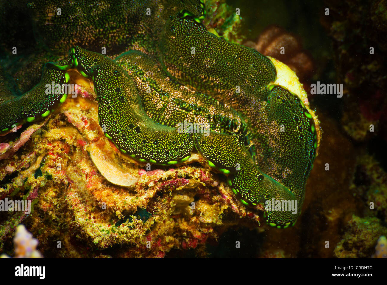 Giant clam (Tridacna gigas) (IUCN red list - VU - vulnerable) - Bivalves, Shells (Bivalvia) - Molluscs (Mollusca) - Stock Image