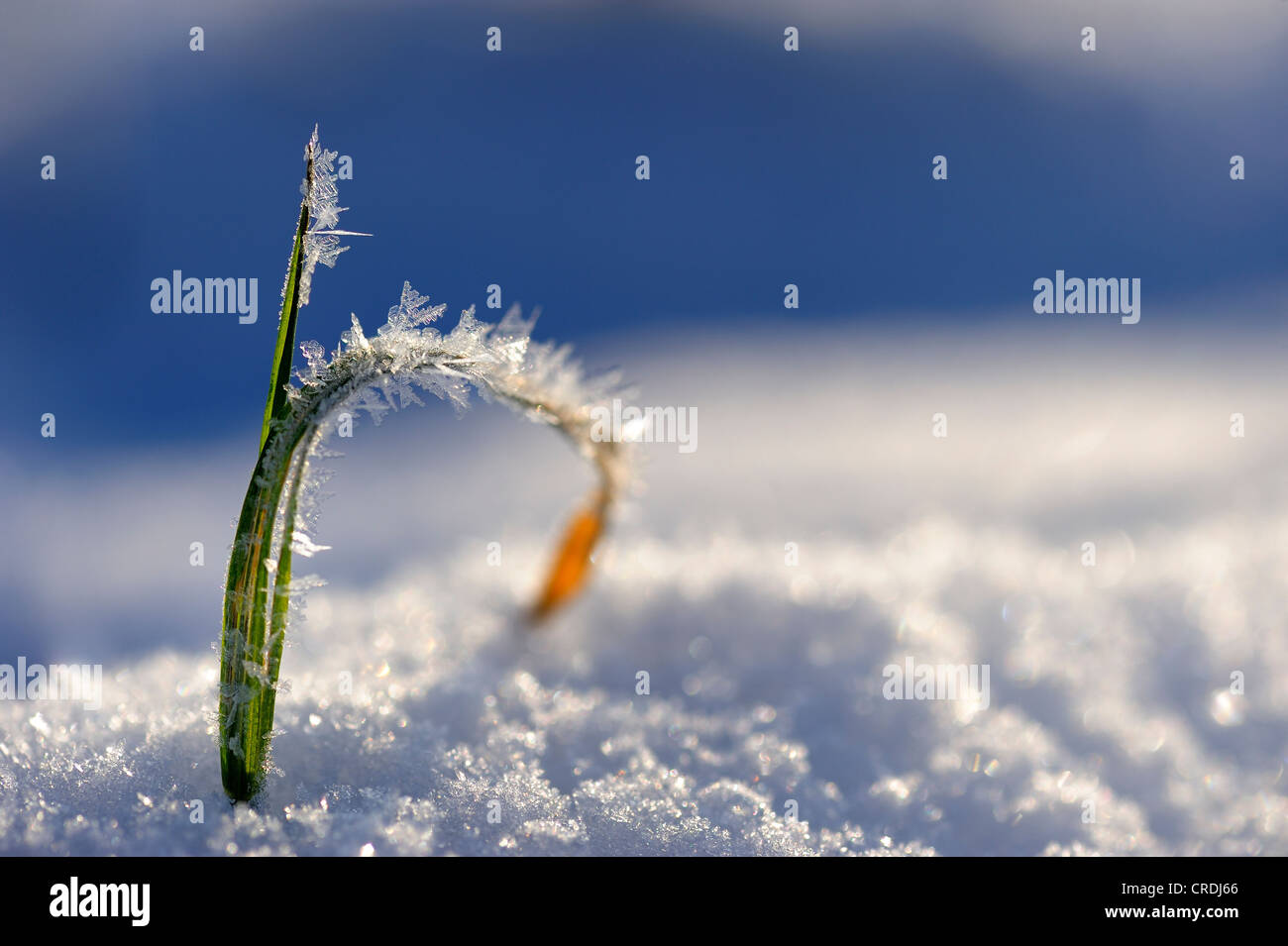 Blade of grass with snow crystals - Stock Image