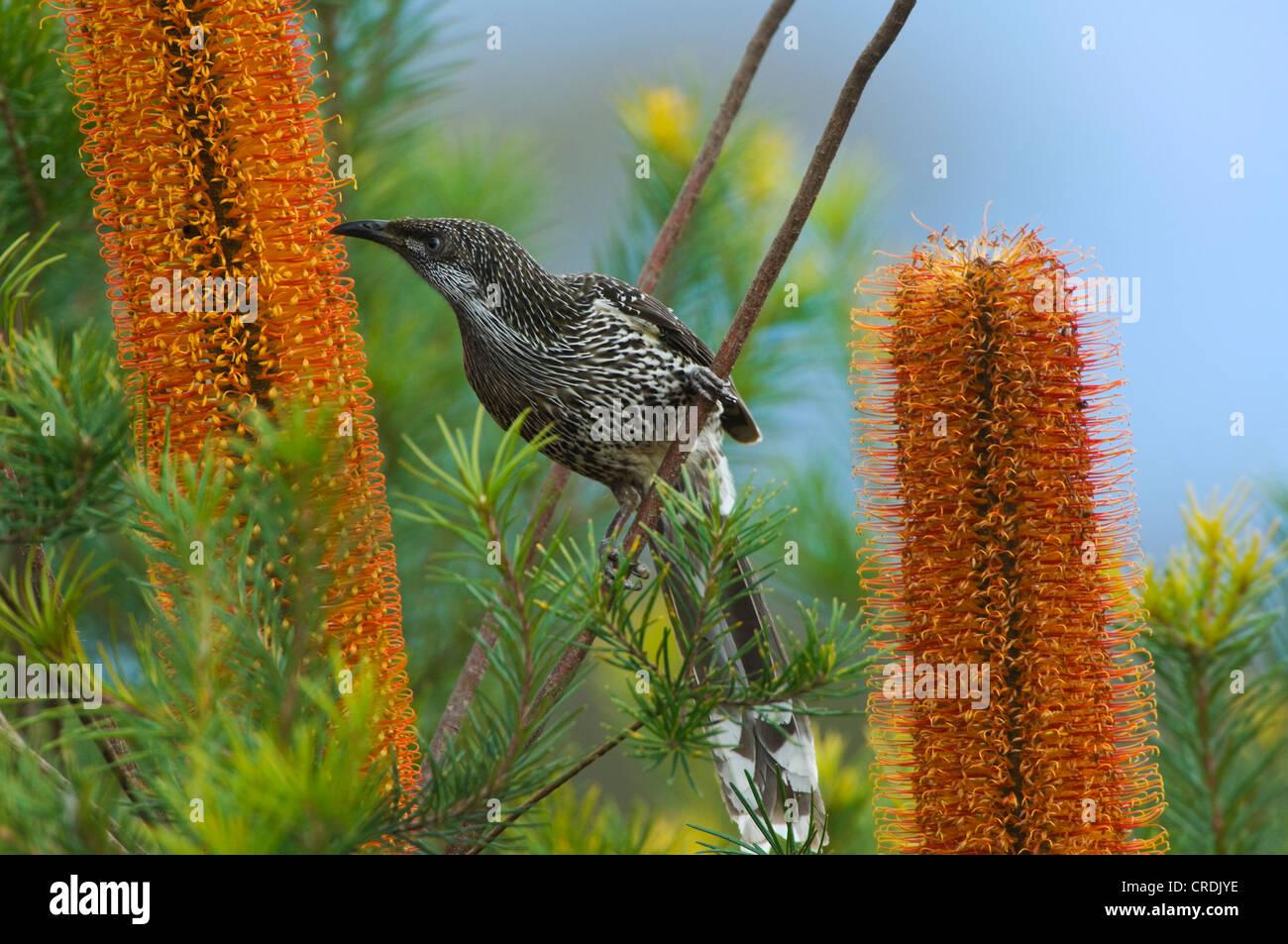 Little Wattlebird (Anthochaera chrysoptera) on Banksia spinulosa x ericifolia (Giant Candles) - Stock Image