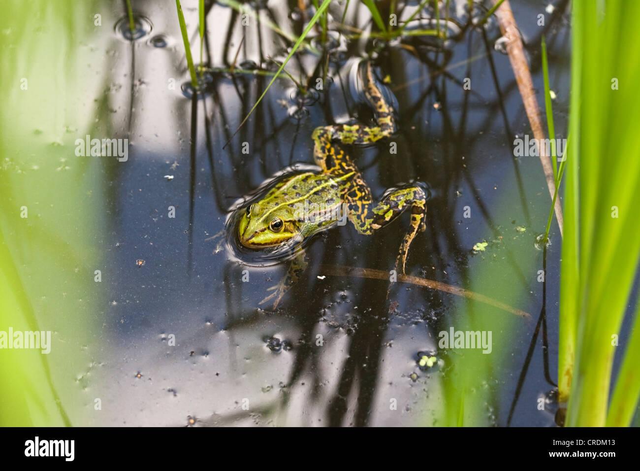 Edible Frog (Pelophylax kl. esculentus), Finowfurt, Brandenburg, Germany, Europe - Stock Image