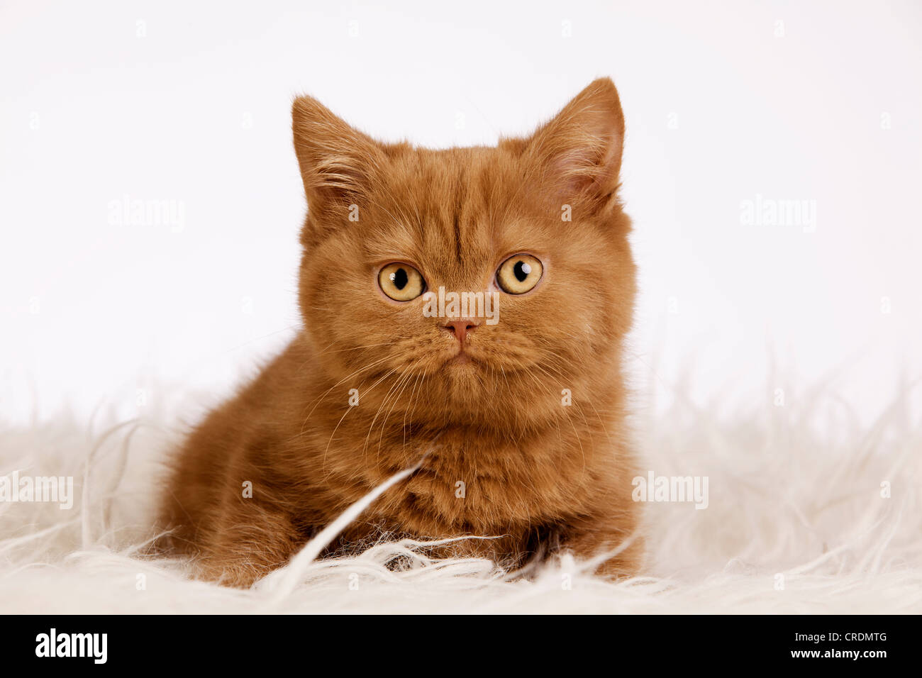 British Shorthair kitten sitting on a shag - Stock Image