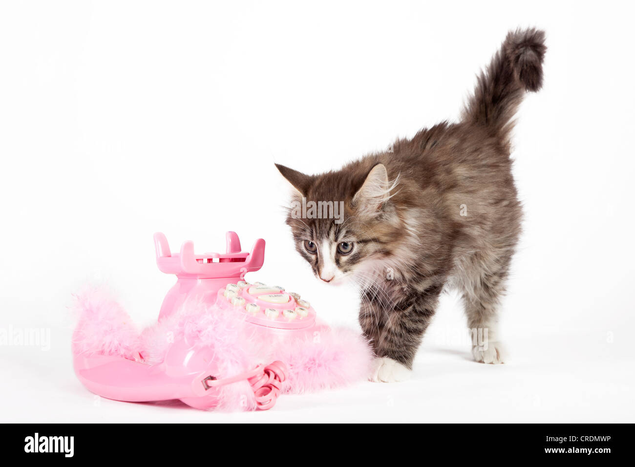 Young Norwegian Forest Cat beside a pink telephone with pompoms - Stock Image