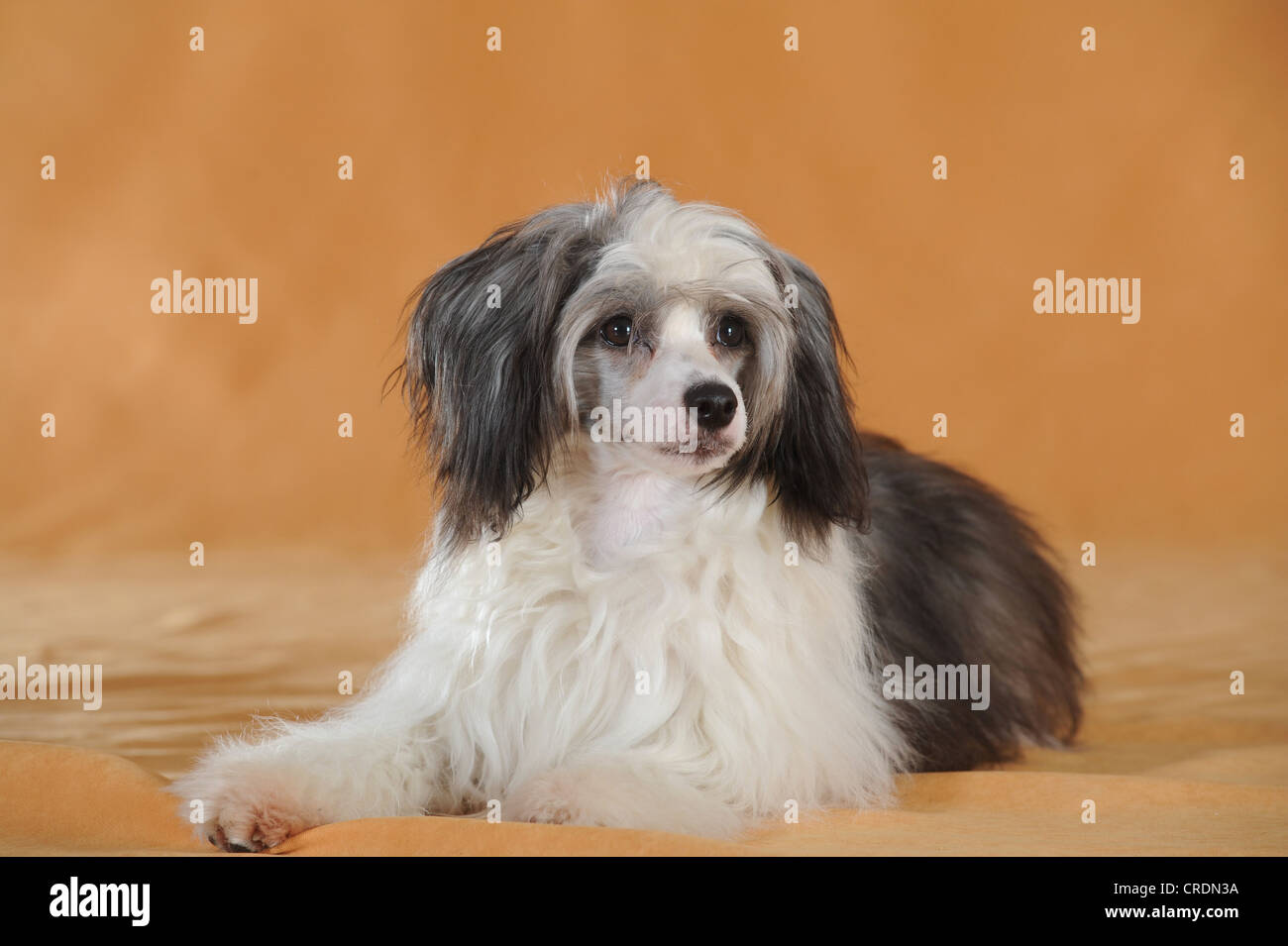 Chinese Crested Hairless Dog, Powderpuff, lying - Stock Image