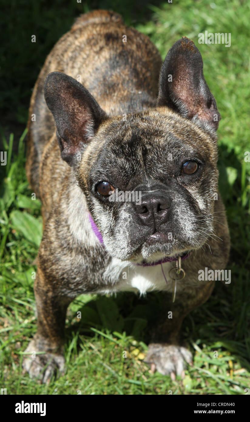 A close up of a brindle French Bulldog. - Stock Image