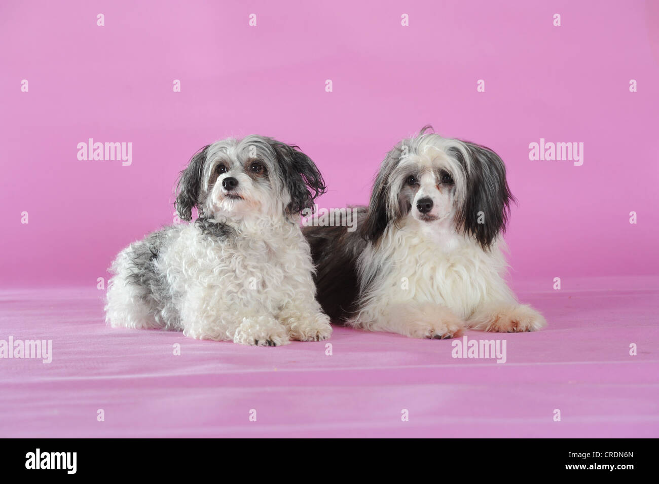 Two Chinese Crested Hairless Dogs, Powderpuffs, lying - Stock Image